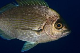 20111012 1812 - enelmar.es - Chopa (Spondyliosoma cantharus), Tabaiba