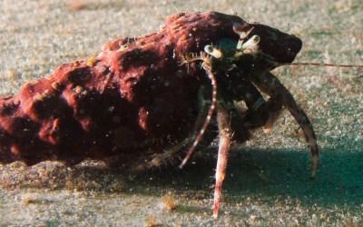 Cangrejo ermitaño (Dardanus calidus)