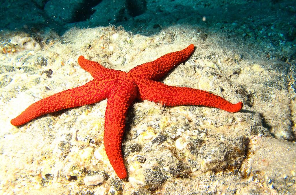 Estrella de mar espinosa (Echinaster sepositus)