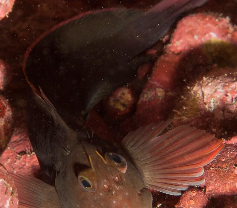 Barriguda mora (Ophioblennidus atlanticus)