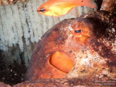 Alfonsito (Apogon imberbis), Pulpo (Octopus vulgaris), Teno - 08012011