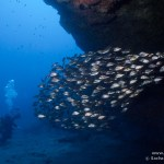 Punta Prieta Roncador Pomadasys insicus 02012011 150x150 La Cueva de Punta Prieta