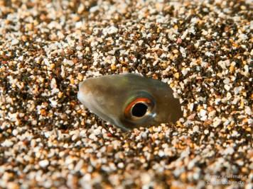 20110214 2059 - Congrio balear o de arena (Ariosoma balearicum), Muelle de La Restinga