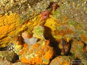 20110313 1059 - Camarón bailador (Cinetorhynchus rigens), Las Eras, Morena picopato (Enchelycore anatina)
