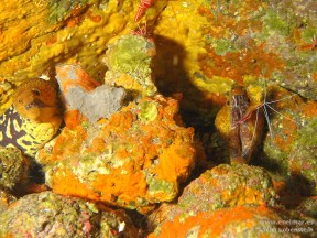 20110313 1059 - Las Eras, Morena picopato (Enchelycore anatina)