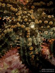 20110305 1735 - Estrella espinosa común (Marthasterias glacialis)