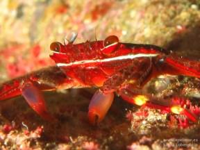 20110312 1142 - Araña de marisco (Percnon gibbesi), Las Eras