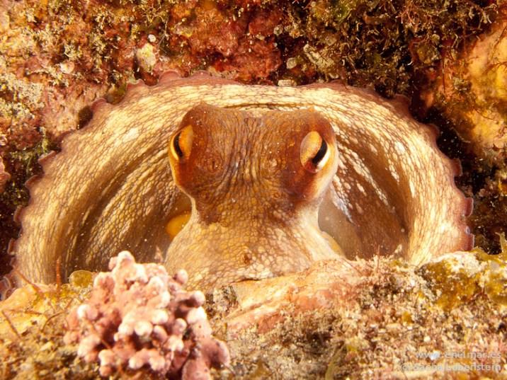 20110413 1625 - Garachico, Pulpo (Octopus vulgaris)