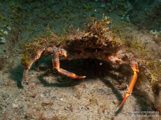 20110421 1557 - Centollo (Maja squinado), Muelle de Porís de Abona-2