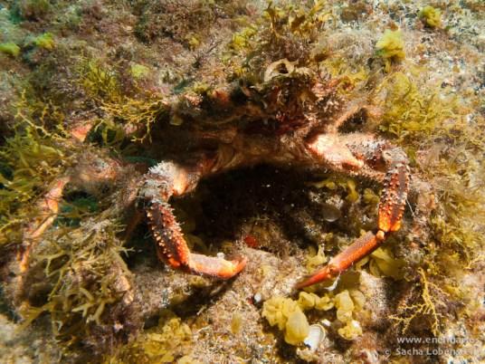 20110421 1557 - Centollo (Maja squinado), Muelle de Porís de Abona