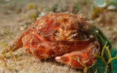 Cangrejo esponja (Dromia marmorea)