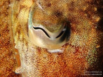 20110501 1118 - Choco (Sepia officinalis), Las Eras