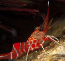 20110505 2048 - Camarón bailador (Cinetorhynchus rigens), Garachico