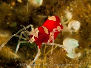 20110514 1727 - Camarón avispa rojo (Gnathophylleptum tellei), Las Eras