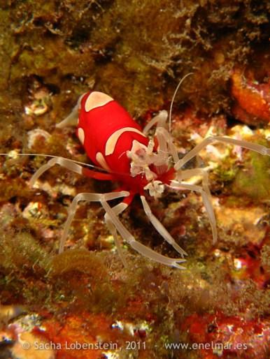 20110515 1007 - Camarón avispa rojo (Gnathophylleptum tellei), Las Eras-4