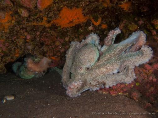 20110528 1647 - Pulpo (Octopus vulgaris), Punta Prieta