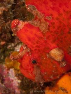 20110528 1652 - Pez esponja o Antenario (Antennarius nummifer), Punta Prieta