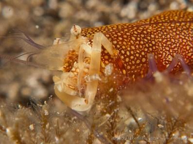 20110530 1139 - Camarón de lunares (Gnathophyllum elegans), Teno
