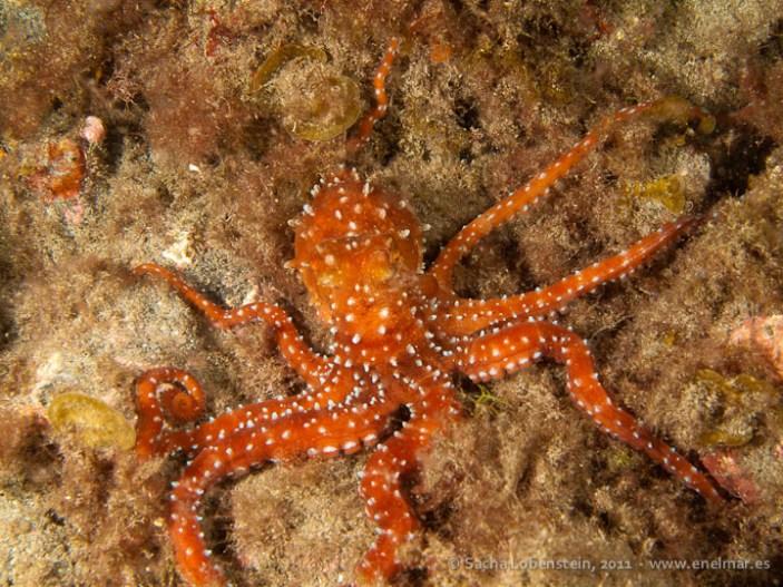 20110608 2220 - Fabiana (Octopus macropus), Garachico-2