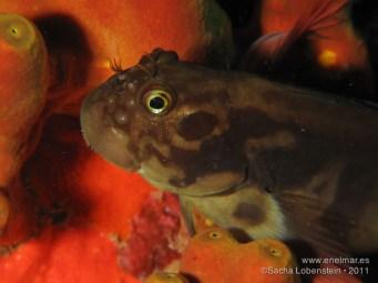20110625 1128 - Barriguda mora (Ophioblennidus atlanticus)
