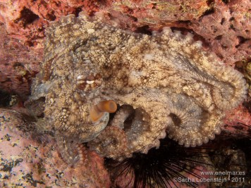 20110702 1146 - Garachico, Pulpo (Octopus vulgaris)
