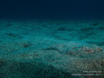 20110703 1119 - Angelote (Squatina squatina), Teno