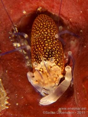 20110709 1148 - Camarón de lunares (Gnathophyllum elegans), Garachico
