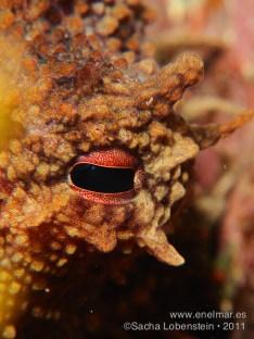 20110723 1735 - Garachico, Pulpo (Octopus vulgaris)