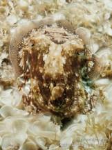 20110728 1540 - Choco (Sepia officinalis), Las Eras-2