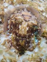 20110728 1540 - Choco (Sepia officinalis), Las Eras