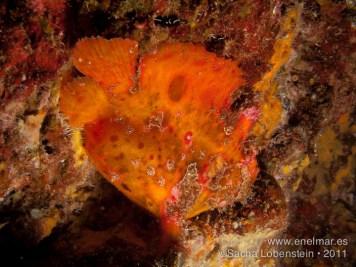20110728 1635 - Las Eras, Pez esponja o Antenario (Antennarius nummifer)-2
