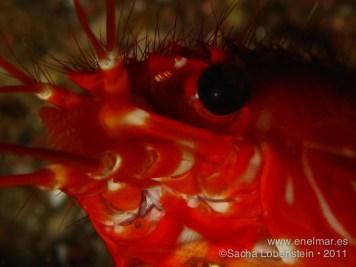 20110731 1058 - Cigala canaria (Enoplometopus antillenensis), Teno
