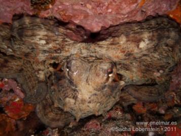 20110820 1129 - La Virgen de Los Silos, Pulpo (Octopus vulgaris)