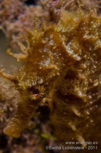 20111012 1837 - Caballito de mar (Hippocampus hippocampus), Tabaiba-2