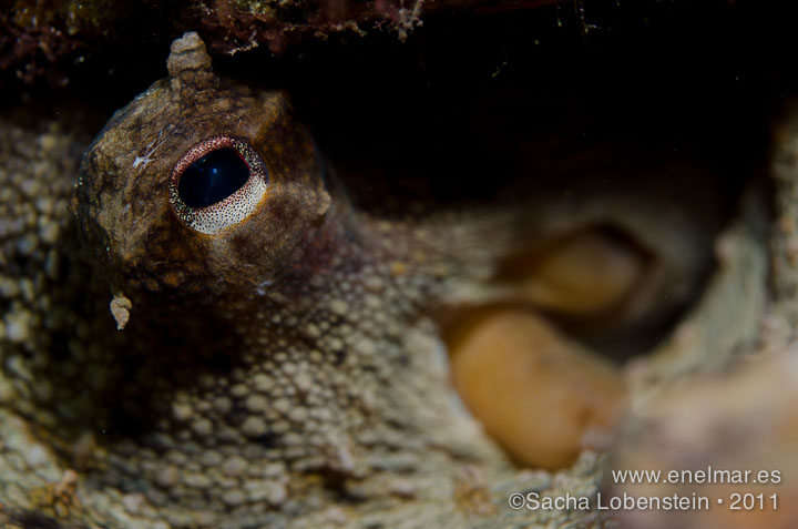 20111015 1926 - Muelle de Porís de Abona, Pulpo (Octopus vulgaris)