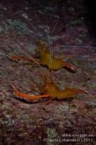 20111015 2003 - Camarón espinoso (Stenopus spinoso), Muelle de Porís de Abona