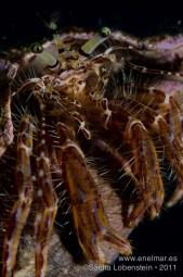20111022 1011 - Cangrejo ermitaño (Dardanus calidus), Teno