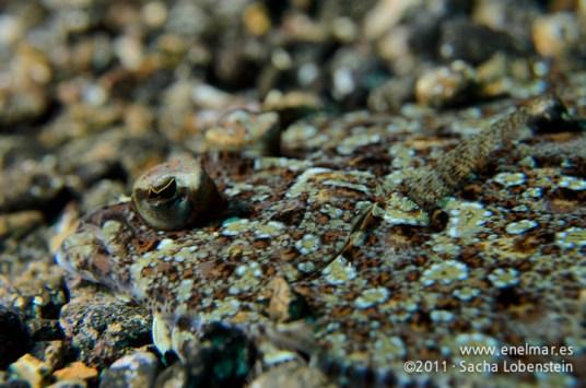 20111226 1214 - enelmar.es - Las Eras, Tapaculos o Lenguado (Bothus podas)