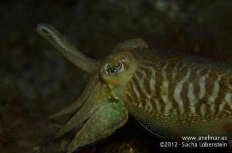 20120106 1905 - enelmar.es - Choco (Sepia officinalis), Muelle de Porís de Abona-2