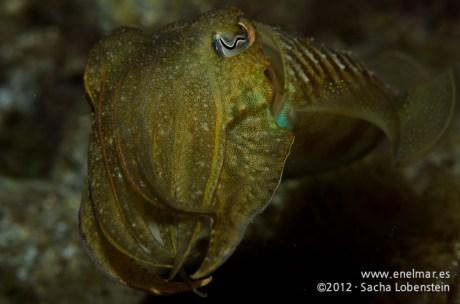 20120106 1905 - enelmar.es - Choco (Sepia officinalis), Muelle de Porís de Abona