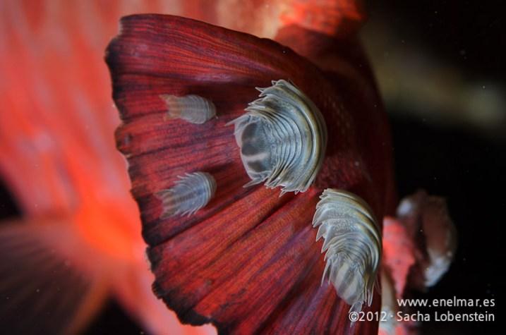 20120108 1146 - enelmar.es - Catalufa (Heteropriacanthus cruentatus), Las Eras, Piojo - Cochinilla (Nerocila armata)