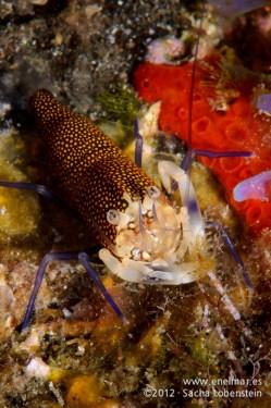 20120108 1348 - enelmar.es - Camarón de lunares (Gnathophyllum elegans), Las Eras