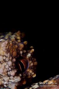 20120114 1032 - enelmar.es - Muelle de Garachico, Pulpo (Octopus vulgaris)