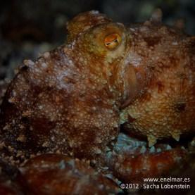 20120125 2133 - enelmar.es - Fabiana (Octopus macropus), Las Eras