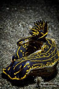 20120202 1741 - enelmar.es - Babosa de mar - Nudibranquio (Hypselodoris picta webbi), Punta Prieta