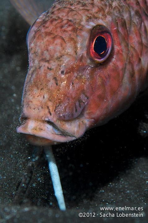 20120202 1805 - enelmar.es - Punta Prieta, Salmonete (Mullus surmuletus )