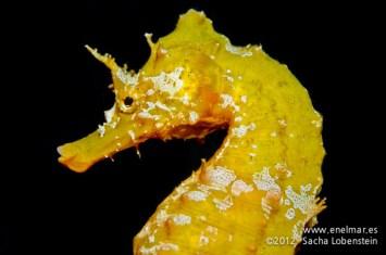 20120202 1825 - enelmar.es - Caballito de mar (Hippocampus hippocampus), Punta Prieta