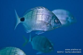 20120205 0939 - enelmar.es - Sargo blanco (diplodus sargus cadenati), Teno