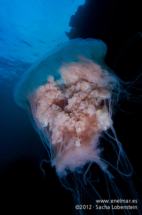 20120211 1111 - enelmar.es - Medusa (Escifomedusa), Muelle de Porís de Abona