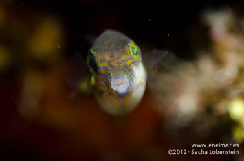 20120226 1013 - enelmar.es - Gallinita (Canthigaster capistrata), Las Eras